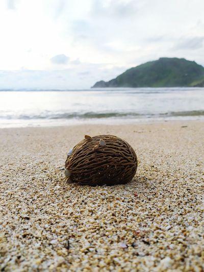 Sea mango - the fruit of suicide washed ashore