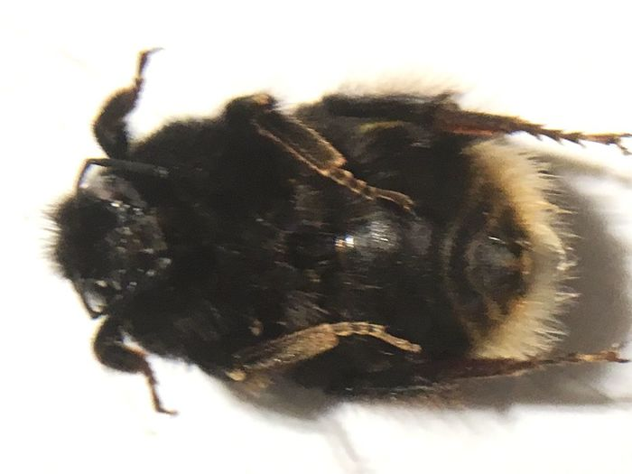 Hummel, Insekt, bestäuben, Pestizide, sterben, geschwächt, verletzt, krank, Bestäubung, Nahrung, Nahrungskette, Bumblebee Bee Animal Themes Animal One Animal Insect Close-up Invertebrate Animal Wildlife