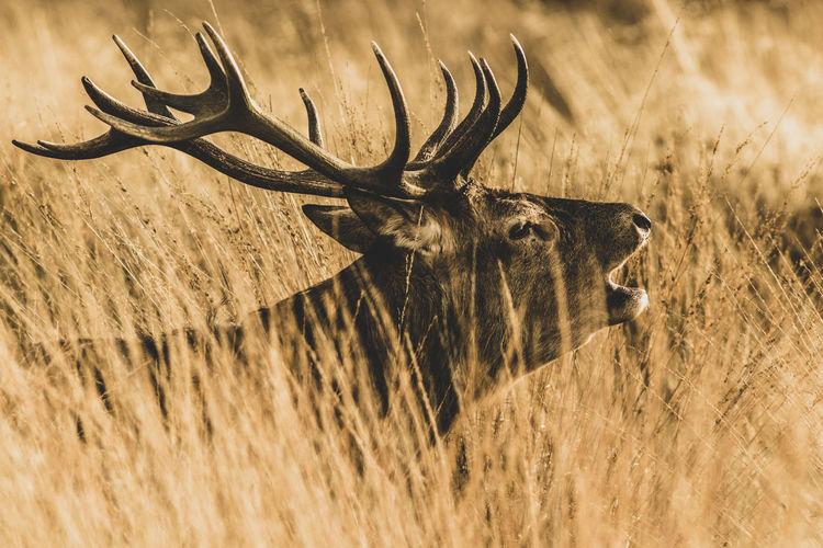 Red Deer (Cervus elaphus) No People Deer Animal Nature Wildlife London Uk Art Backgrounds Covering Rut Stags Bellow Dark