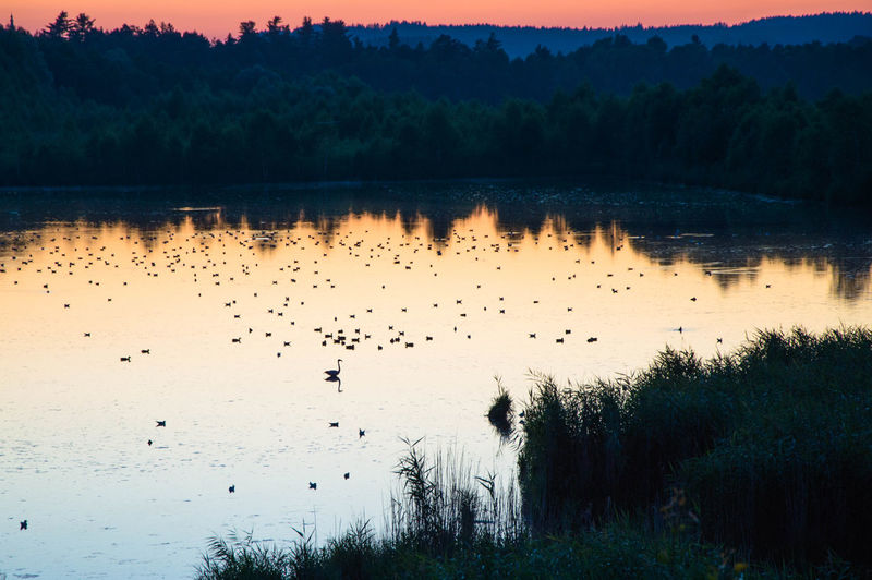 Birds swimming on lake at sunset