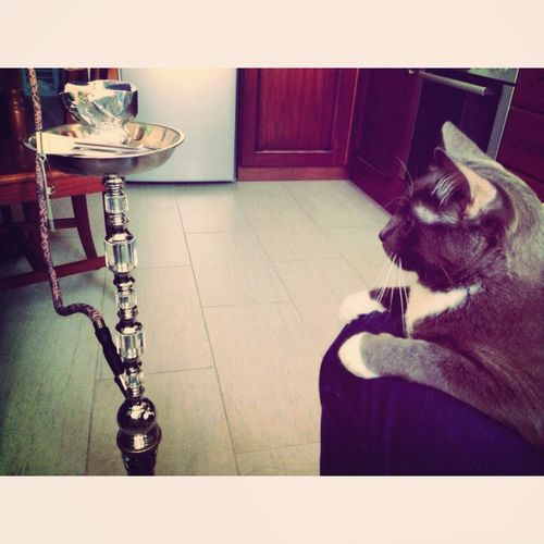 Мой король Cat ?? тоже любит Smoke Hookah