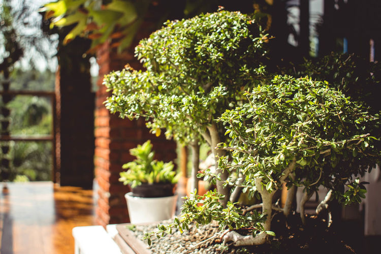 Architecture Beauty In Nature Bonsai Tree Close-up Day Flower Pot Focus On Foreground Front Or Back Yard Gardening Green Color Growth Leaf Nature No People Outdoors Plant Plant Part Potted Plant Selective Focus Small Sunlight Table Tree