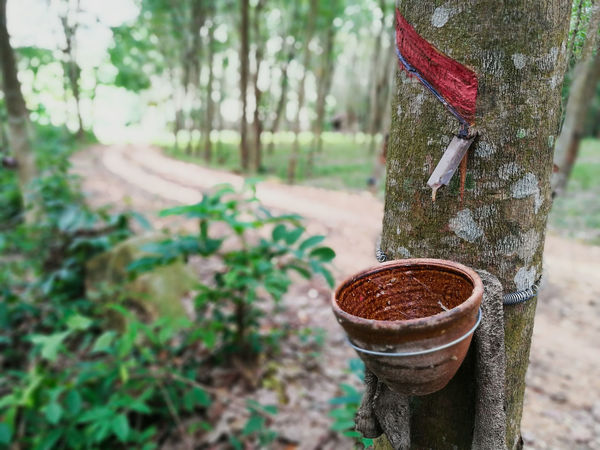 """""""rubber plantation"""" Rubber Rubbertrees Trees Plantations Forest Forest Photography Growth Growing Growing Plants Cup Latex Economics"""