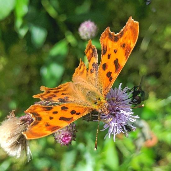 Comma Butterfly Comma Orange Butterfly Orange On Green Butterfly - Insect Butterfly Wings Animal Wildlife Nature Beauty In Nature EyeEm Nature Lover English Countryside Perspectives On Nature