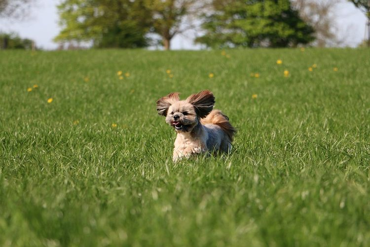beautiful small lhasa apso is running in the garden Portrait Lhasa Lhasa Apso Havanese Maltese Funny Action Active Sport Garden Park Field Landscape Dandelion Running Dog Pets Animal Small Nature Grass Canine One Animal EyeEm Pets Hairy