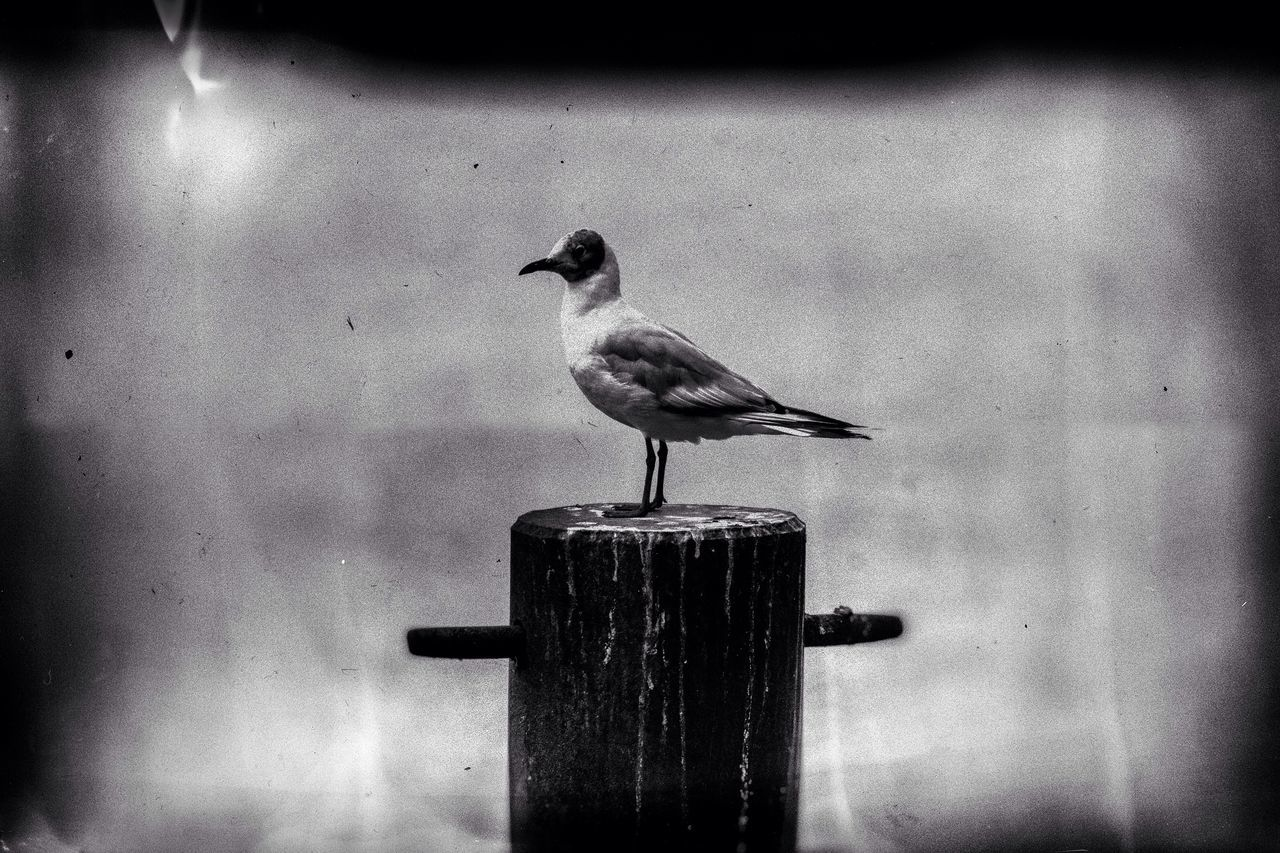 one animal, bird, animal themes, animals in the wild, perching, animal wildlife, no people, seagull, day, outdoors, nature, close-up