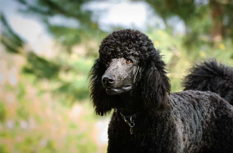 Black Standard Poodle dog Animal Themes Animal One Animal Domestic Black Color Portrait Dog No People Canine Day Nature Looking At Camera Close-up Hair Animal Hair Outdoors Pets Black Poodle Black Standard Poodle Standard Poodle Nature Purebred Dog