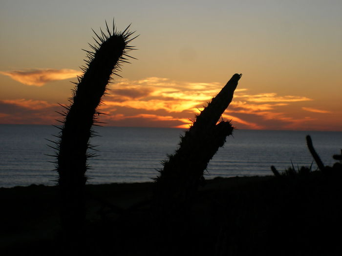 Cactus in Baja, Mexico. Sunset Silhouettes Sunset Silhouette Pointy Spikes Harsh Nature Photography Landscape Natural Life Organic Natural Beauty Natural Leisure Travel The Great Outdoors With Adobe Courage Alone Leisure Activity Responsible Use Landscapes With WhiteWall Wealth Responsibility Simple Life Beautiful Nature