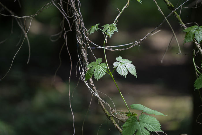 Beauty In Nature Botany Close-up Focus On Foreground Fragility Growing Growth Grüne Blätter Im Wald Natur Natural Pattern Nature Outdoors Plant Selective Focus Tranquility Twig