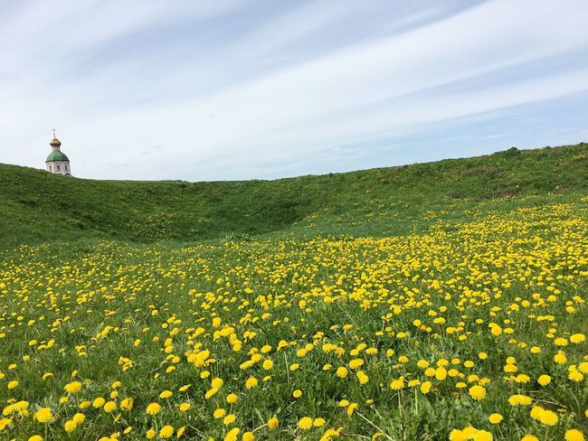 large dandelion field Beauty In Nature Flower Yellow Field Nature Rural Scene Scenics Lifestyles Landscape Sky Real People Outdoors Freshness Leisure Activity Agriculture Fragility Plant Oilseed Rape Day