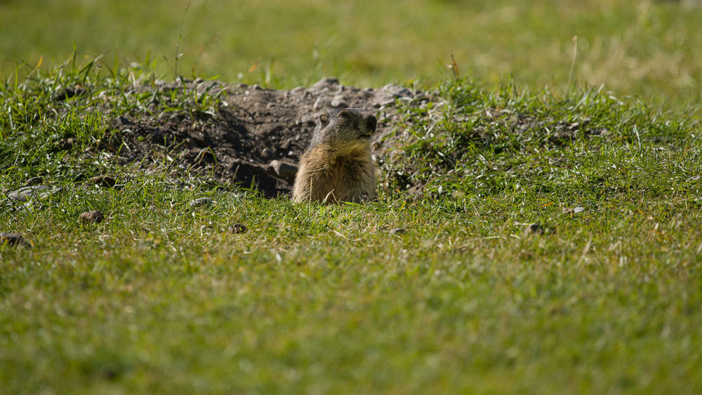Animal Themes Animal Wildlife Animals In The Wild Close-up Day Field Grass Green Color Mammal Marmot Marmotte Mountain Animal Nature No People One Animal Outdoors