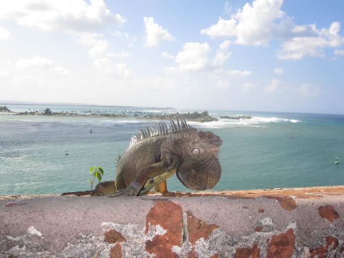 Animal Animal Wildlife Beach Day Horizon Over Water Iguana One Animal Outdoors Sea Sky Travel Travel Destinations Vacations