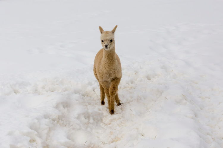 Cat standing on snow covered land