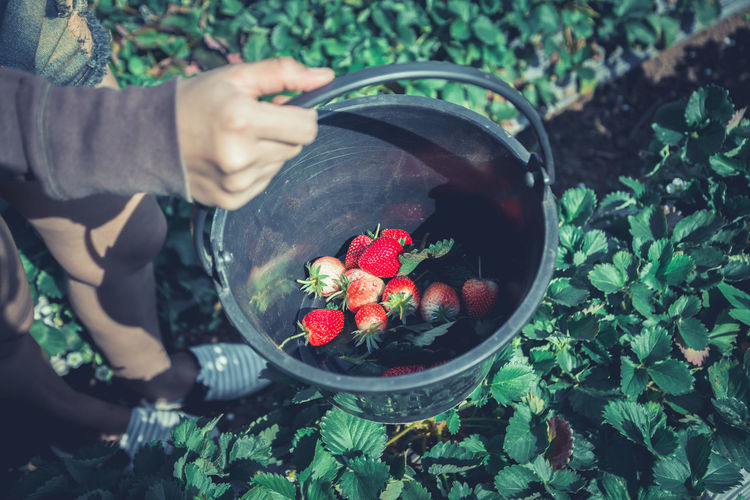 Low section of woman holding strawberries in bucket