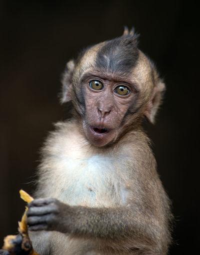 Monkey looking away against black background