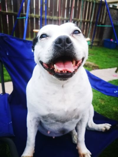 Dog Domestic Animals Mammal Animal Themes Pets One Animal No People Outdoors Day Close-up Pet Portrait Staffordshire Bull Terrier Staffy Staffylove Staffysmile