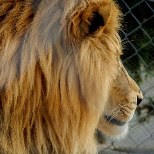 A lion should not be in a small cage like that, what are your thoughts on that, let me know? Wwf Lion In Jail Cage France The_relics Animallovers Animals Animaladdicts Instagood Instadaily Freelion Gorgeous Graceful Creature Love Photooftheday Picoftheday Imageoftheday Wildcats Wildcatsforever