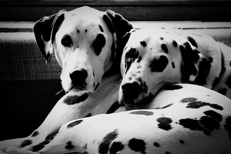 Dalmatians At Home