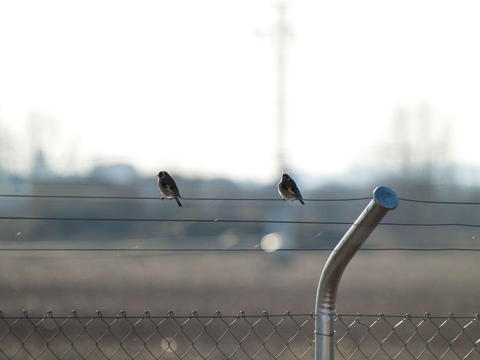 Close-up of birds perching on chainlink fence against sky