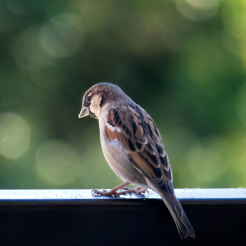 Outside My Window Bird Close-up Sparrow Outdoors One Animal