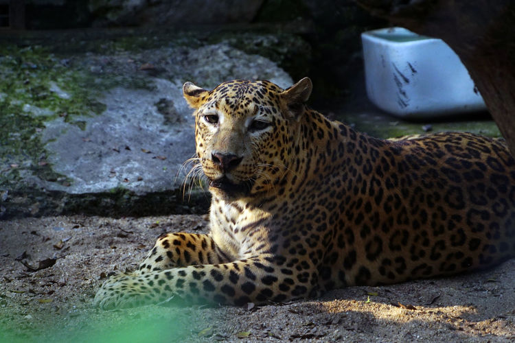Animal Themes Animal Wildlife Animal Animals In The Wild Mammal One Animal Feline Big Cat Relaxation Vertebrate Day Zoo Animals In Captivity Solid Nature Cat Rock Rock - Object No People Land Outdoors Leopard Wild Life