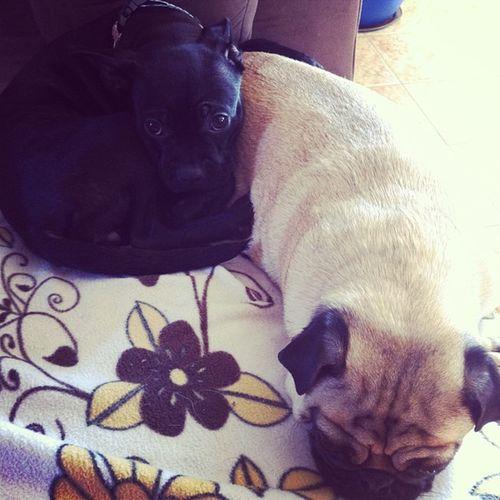 So adorable! :3 Pugs Bostonterrior Dogs