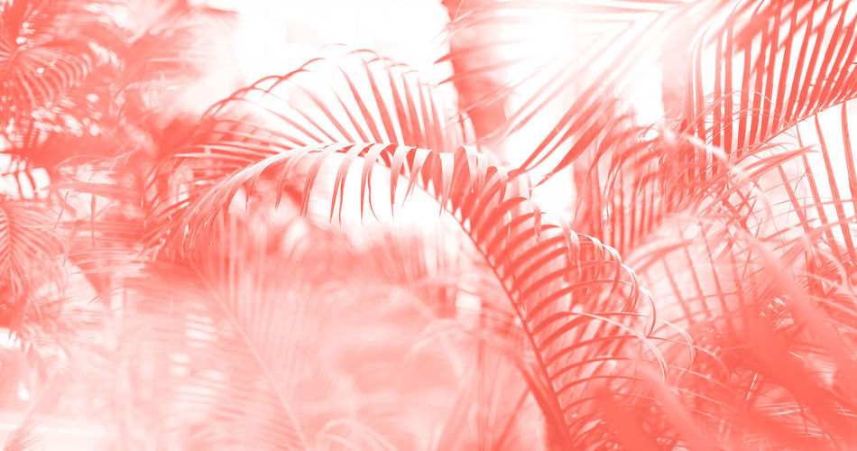 Living Coral Trendy Monochrome Backdrop Background Color Year Concept Design Trend Fashion Style Paint Pastel Coy2019 Copy Space Pink Creative Banner 2019 Jungle Tree Exotic Nature Tropical Palm Leaves Sun Leaks Effect Floral Pattern Pop Art Colorful Bokeh Vacation Holiday Summer Travel Tropic Leaf Beach Texture Print Flora Forest Plant Season  Succulent