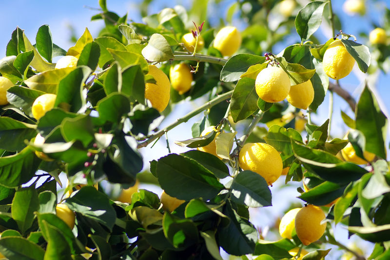 Ripe lemons on tree