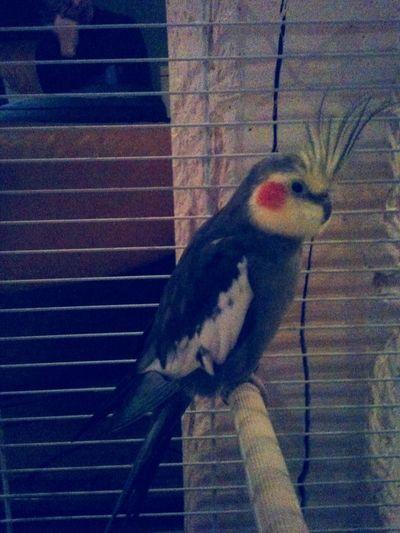 Coco, perruche calopsitte ♥