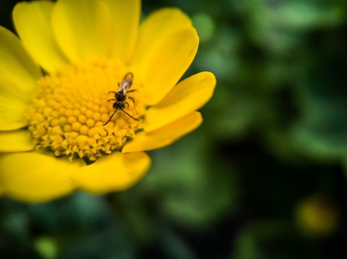 虫と花と モバイルフォト Mobilephotography EyeEm Best Shots Flower Flowering Plant Insect Fragility Invertebrate Vulnerability  Beauty In Nature Petal One Animal Yellow Freshness Animals In The Wild Flower Head Animal Wildlife Close-up Animal Themes Focus On Foreground Animal Growth Plant