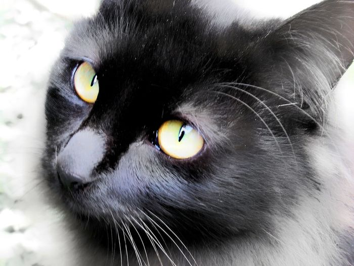 cats eyes Black And White With A Splash Of Colour Furfamily Furbaby Cute Pets Adorable Black And White Green Color Monochrome Black Cat Cats Of EyeEm Portrait Looking At Camera Pets Domestic Cat One Animal Eye Domestic Animals Animal Themes Close-up Feline Mammal Eyeball Eyelash Yellow Eyes