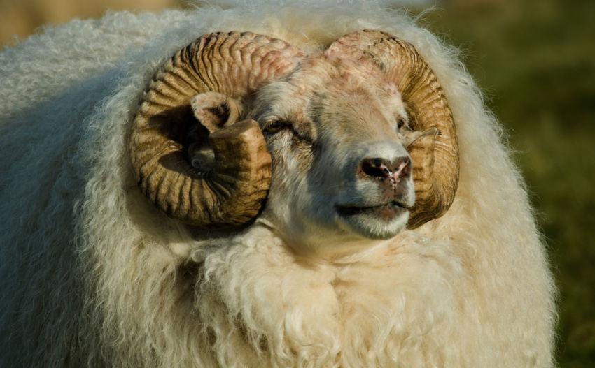 Animal Mammal Animal Themes Livestock Close-up No People Domestic Day Sheep Animal Head  Animal Hair Iceland Icelandic Sheep RAM Farm Field