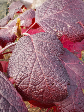 winter color Burgundy Color Hydrangea Falll Red Close-up Leaf Vein Rough Thick