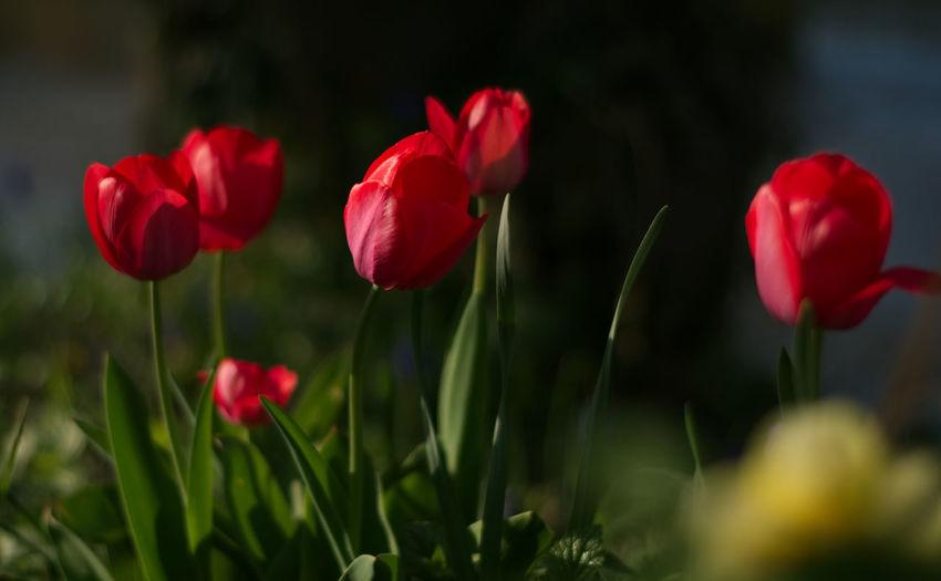 Flower Head Flower Poppy Multi Colored Plant Part Red Closing Beauty Summer Petal Tulip Botany Flowerbed Wildflower Botanical Garden