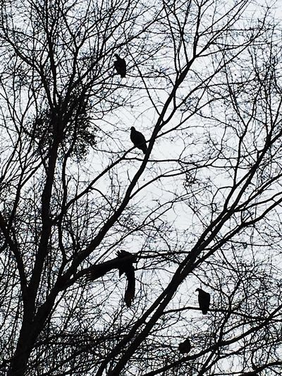 Vultures lie and wait. Vultures Buzzard  Birds Birds Of A Feather Flock Together Birds Of EyeEm  Birds In A Tree Omen Death Awaits Death & Decay Tree Branches Tree Silhouette Bird Photography Sillouette Iphone6s Central Alabama February Hanging Out The Gang