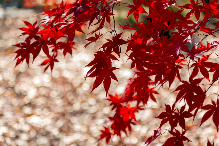 Red Japanese