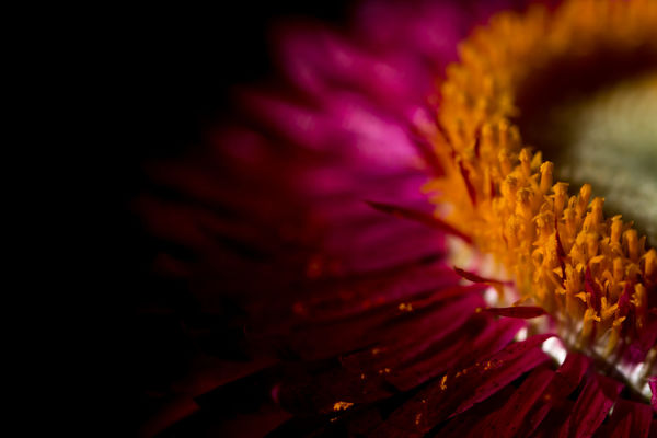 Macro straw flower with pollen on black background isolated Beauty Bloom Bouquet Close-up Colorful Colors Flora Flower Green Growth Macro Nature Nature Orange Outdoors Paper Petal Pink Plant Pollen Red Strawflower Tree Wallpaper