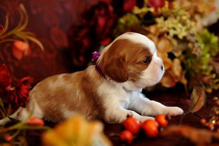 Lovely Cavalier Puppy Boy Puppy Cavalier Ckcs Cavalier King Charles Spaniel