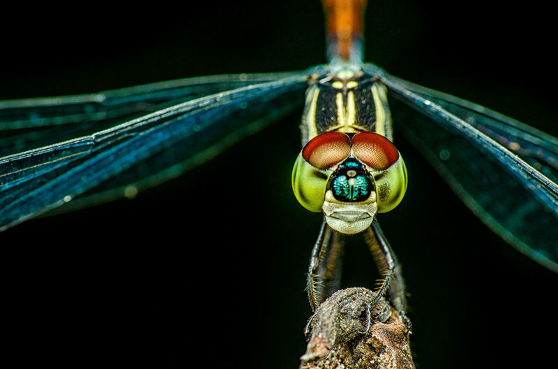 Close-up of dragonfly on plant against black background