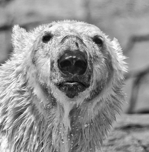 Henry Vilas Zoo Madisonwi Polar Bear Zoo Animals  Polar Bear In Pool