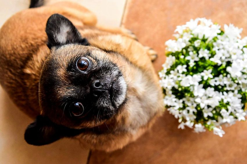 Pets Dog Animal Cute Portrait One Animal Looking At Camera Domestic Animals No People Flower Day Indoors  Mammal Close-up Nature Animal Themes Cosmos Flower Stem Pollen Bud Pink Flower Head Fragility Single Flower Rosé Hydrangea Petal Lap Dog Cavalier King Charles Spaniel Pug
