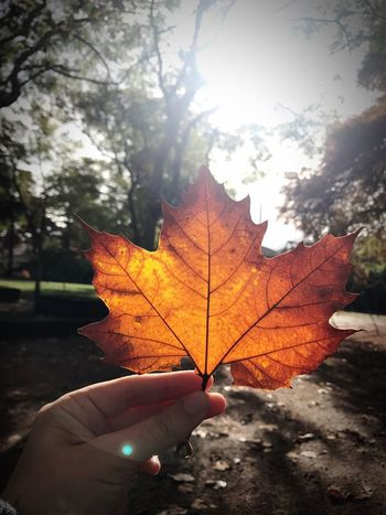 Autumn Leaf Change Human Hand Maple Leaf One Person Maple Nature Holding Human Body Part Day Outdoors Sunlight Focus On Foreground Close-up Beauty In Nature Real People Tree People