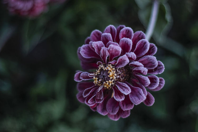 Close-up of frost zinnia outdoors