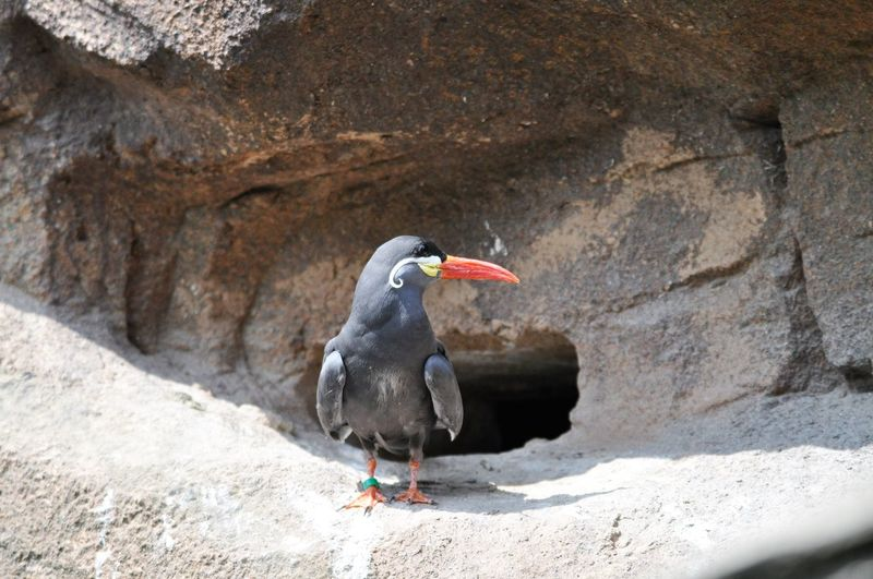 Close-Up Of Inca Tern Perching On Rock