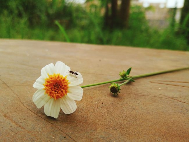 Flower Nature Petal Flower Head Beauty In Nature Fragility Insect Outdoors Pollen Close-up Daisy Freshness No People Animal Themes Day Ant SubhanAllah Masyaallah La Ilaha Illallah AllahuAkbar Nature Reserve Pollination