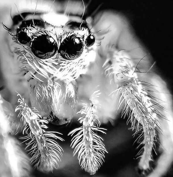 Attack Of The Macro Collection! Insect Paparazzi Macro Addict Spiderland Macro_collection Macro Photography Macro Spider Spider Portrait Eyes In The Eyes Of A Spider Spider Eyes Bug Portrait Fresh on Market 2016 Spiderama