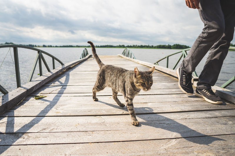Gray tabby cat goes on the pier near the legs of a man
