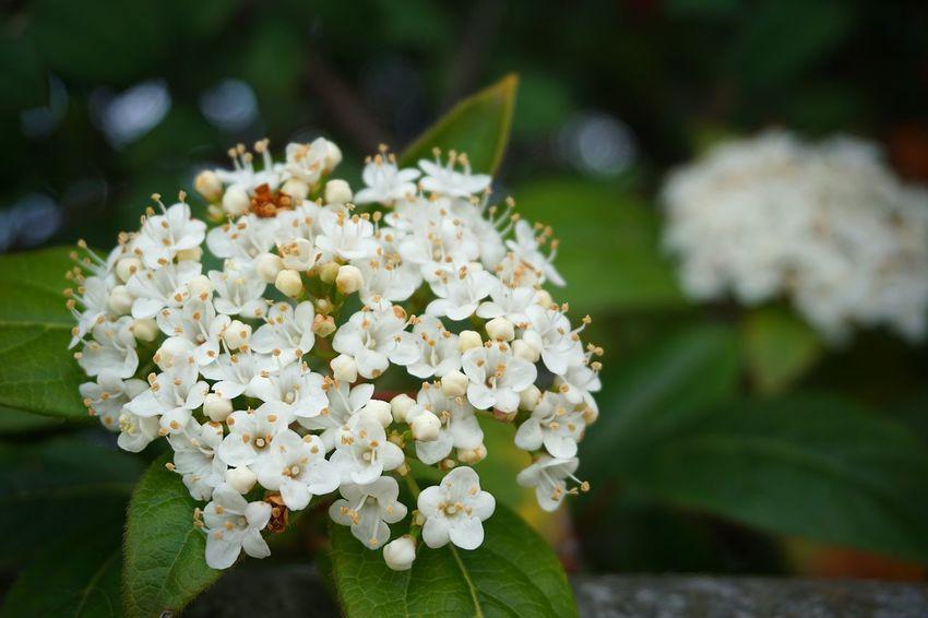 Flower Head Flower Springtime Blossom Petal White Color Botany Close-up Plant