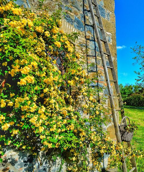 """""""Ah... Giallo"""" - Torre Alfina, Italia Italia Italy Photobydperry Day Outdoors No People Grass Green Color Nature Growth Close-up Restaraunt Food Bedandbreakfast Yellow Flower Yellow Color Yellow Yellow Flowers Ladder On The Wall Ladder Stone Wall"""