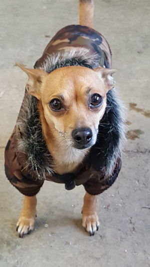 Taking Photos Peanut ready for the cold Dog Dog❤ Dogs Of EyeEm Pets Corner I Love My Dog Doggy Cute Pets Cute Dog  Chihuahua Dogslife Dogs Fonta, WI